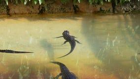 L'alligatore del bambino del giorno di estate si rilassa in acqua 4k Florida S.U.A. video d archivio