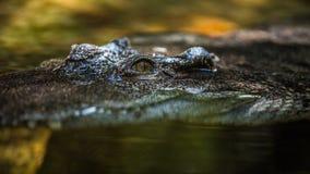L'alligatore di caccia Immagini Stock