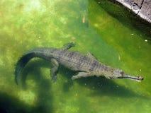 L'alligatore galleggia nell'acqua Fotografia Stock Libera da Diritti