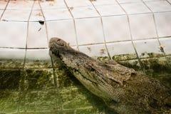 L'alligatore ottiene la sua testa sopra l'acqua Immagini Stock