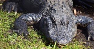L'alligatore prende il sole al sole Immagine Stock Libera da Diritti