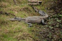 L'alligatore si siede sulla sponda del fiume Fotografia Stock