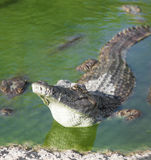 L'alligatore si trova nell'acqua Immagine Stock Libera da Diritti