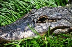 L'alligatore sorride per la macchina fotografica Fotografie Stock Libere da Diritti