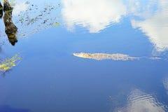 L'alligatore sta cercando Fotografie Stock
