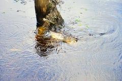 L'alligatore sta cercando Immagine Stock Libera da Diritti