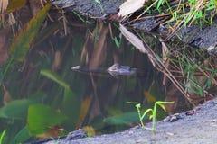 L'alligatore sta dormendo Fotografie Stock