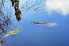 L'alligatore sta nuotando Immagini Stock Libere da Diritti