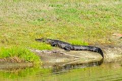 L'alligatore sta prendendo il bagno del sole Fotografie Stock Libere da Diritti