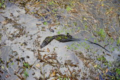 l'alligatore sta riposando Immagini Stock