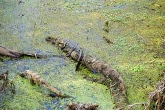 l'alligatore sta riposando Fotografie Stock Libere da Diritti