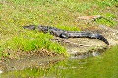 l'alligatore sta riposando Fotografia Stock