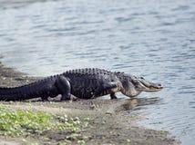 L'alligatore va al lago Fotografia Stock