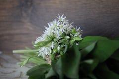 L'allium è conosciuto come aglio selvaggio Fotografia Stock