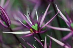 L'allium è il nome botanico della cipolla ornamentale Immagine Stock Libera da Diritti