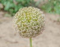 L'allium bianco fiorisce, fiore della palla, genere di monocotyledonous Fotografie Stock Libere da Diritti