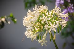 L'allium bianco fiorisce il mazzo L'allium è un genere del monocotyledonou Fotografie Stock