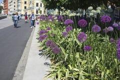 L'allium decorativo dell'arco decora i parchi e le vie Fotografia Stock