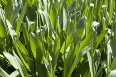 L'allium decorativo fiorisce in germogli sul prato inglese Fotografie Stock