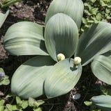 L'allium decorativo fiorisce in germogli sul prato inglese Immagine Stock