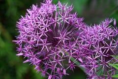 L'allium della cipolla ornamentale, là è centinaia di specie, compreso le varietà commestibili quali la cipolla, lo scalogno, l'a fotografie stock