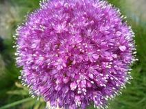 L'allium porpora luminoso di fioritura pieno Fotografie Stock Libere da Diritti