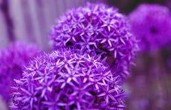 L'allium rotondo porpora fiorisce con fondo vago, fine su, c Immagine Stock