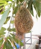 L'allodola annida, nido di weaverbird fatto di fieno, nidi dell'allodola sul reggiseno Fotografia Stock Libera da Diritti