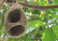 L'allodola annida, nido di weaverbird fatto di fieno, nidi dell'allodola sul reggiseno Immagini Stock Libere da Diritti