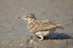 L'allodola crestata sta cercando l'alimento in una pozza di fango Fotografia Stock Libera da Diritti