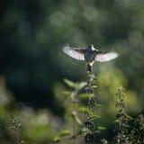 L'allodola decolla al volo dall'ortica (arvensis del Alauda) Immagine Stock Libera da Diritti