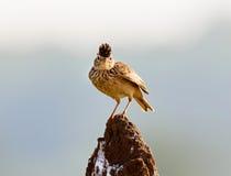 L'allodola di Malabar si è appollaiata su un monticello della termite Fotografie Stock