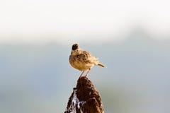 L'allodola di Malabar si è appollaiata su un monticello della termite Fotografia Stock Libera da Diritti