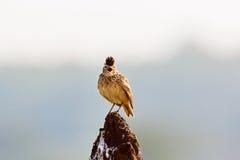 L'allodola di Malabar si è appollaiata su un monticello della termite Fotografia Stock