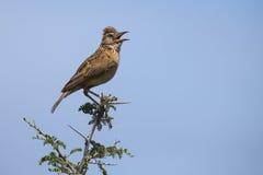 L'allodola rufous-naped si siede sul ramo e chiama per reclamare il suo territorio Immagine Stock