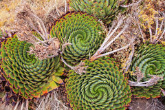 L'aloès en spirale, usine de ressortissant du ` s du Lesotho Photo stock