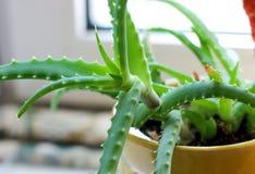 L'aloe, pianta verde, medicina, aloe va Fotografia Stock