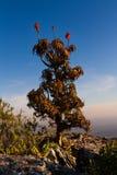 L'aloe sulle rocce dell'alta montagna abbellisce al tramonto con i chiari cieli Fotografie Stock