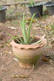 L'aloe vera è un'erba che può curare le ustioni ed è ingrediente dentro Immagini Stock