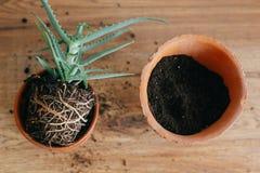l'aloe vera con le radici in terra rinvasa al più grande vaso di argilla all'interno immagine stock