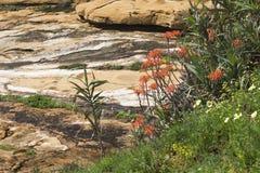 L'aloe Vera fiorisce a Praia da Luz, Algarve, Portogallo Fotografia Stock Libera da Diritti