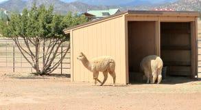 L'alpaca ad un ranch dell'alpaga in deserto asciutto condiziona Immagine Stock