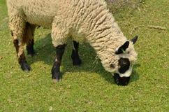 L'alpaca su un'azienda agricola Fotografie Stock Libere da Diritti