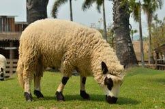 L'alpaca su un'azienda agricola Fotografia Stock