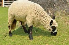 L'alpaca su un'azienda agricola Immagini Stock Libere da Diritti