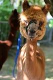 L'alpaga è una specie domestica di camelid sudamericano Fotografia Stock