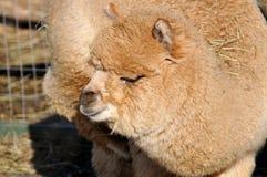 L'alpaga è una specie domestica di camelid sudamericano Somiglia ad un piccolo lama nell'aspetto L'alpaca è tenuta in tha dei gre Fotografia Stock