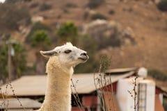 L'alpaga bianca del lama, orecchie appoggia il profilo un animale domestico animale coraggioso che custodice un'azienda agricola, Fotografia Stock Libera da Diritti