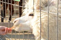L'alpaga bianca e lanuginosa in una gabbia mangia dalle mani di una persona Fotografie Stock