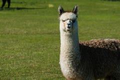 L'alpaga sveglia si è alzata per lana sul ranch dell'Oregon Fotografie Stock